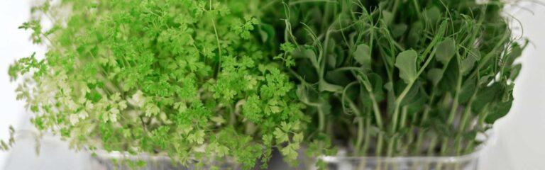 Descubre los microgreens y cómo cultivarlos en tu casa